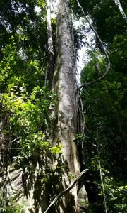 Die hout van die boom in die reënwoude van Maleisië is baie hard en baie geskik vir die maak van rvierbote.
