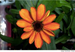 first_flower_in_space_scott_kelly