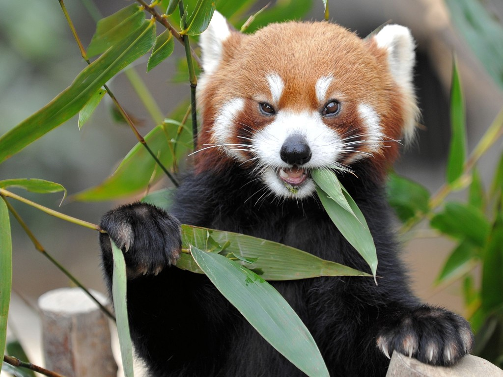 Ontmoet die rooi panda