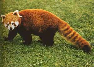 I-Adore-Red-Panda-red-pandas-16286137-484-347