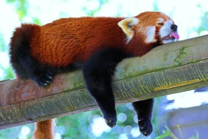 panda_lesser_panda_red_panda_branch_rest_sleep