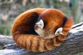 Red_panda_2@body2