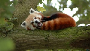 red_panda_on_a_tree-1600x900