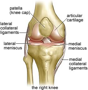 Seif_knee anatomy01