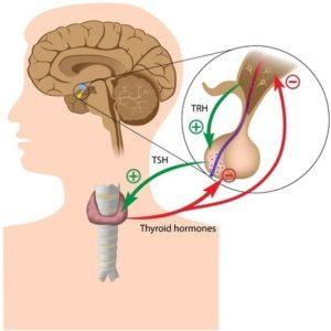 thryoidpituitary15533191_s