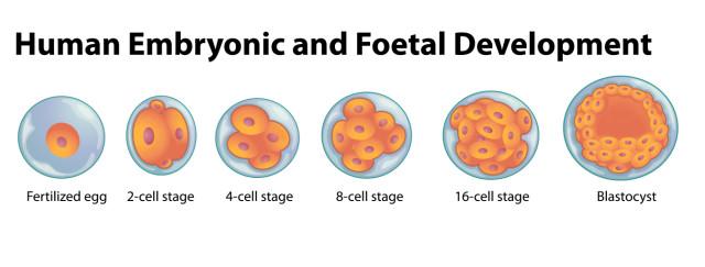 tips-40_embryo-development-640x243