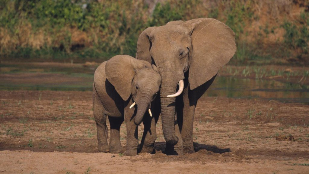 Wêreld Olifantdag want olifantegetalle daal
