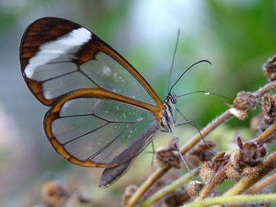 Die glass winged skoenlapper