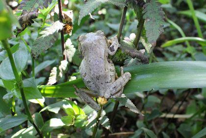 Die Natalse boompadda