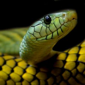 Waar kry slange hulle gif vandaan?