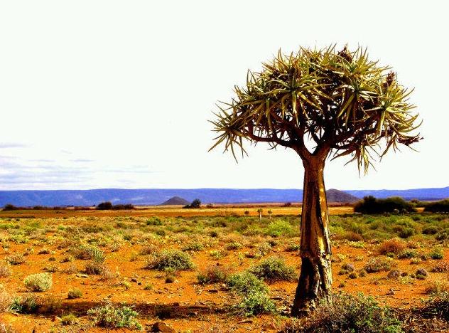 Só verplant 'n kweker groot kokerbome
