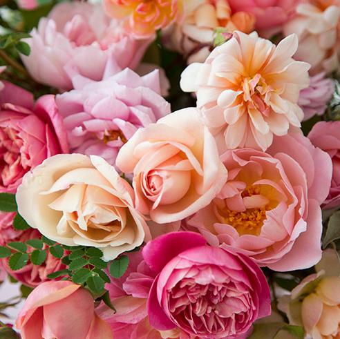 Erfenis rose is volrond, geurig en gehard