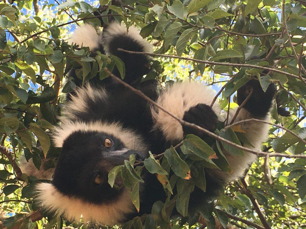 Die lemurs van Madagaskar lyk soos oer-primaatvoorsate