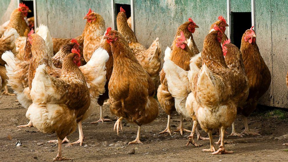 Hoe die AGOA hoenders ons eie boere en bedryf gaan raak