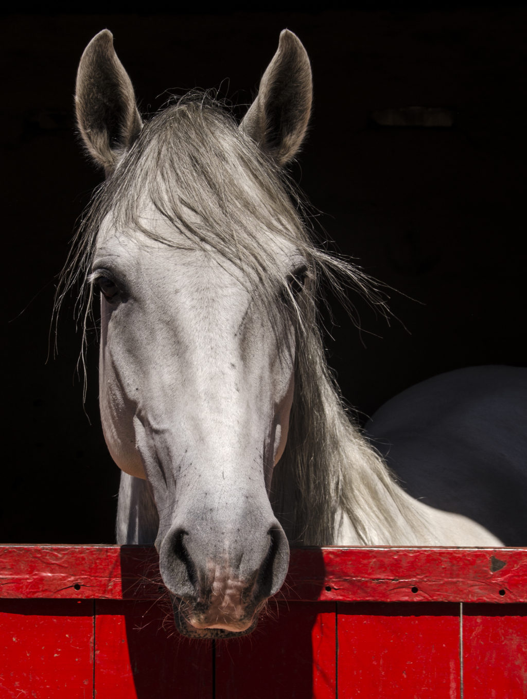 Luister weer: Ons Lipizzaners
