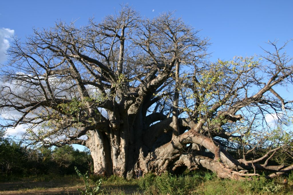 Ons indrukwekkendste kampioenbome