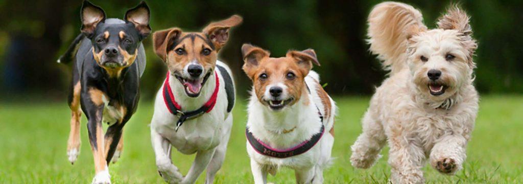 Spanpoging teen hondsdolheid om lewens te red
