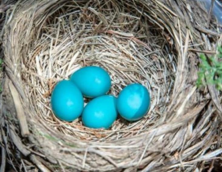 Hoekom lê sekere voëls blou eiers?