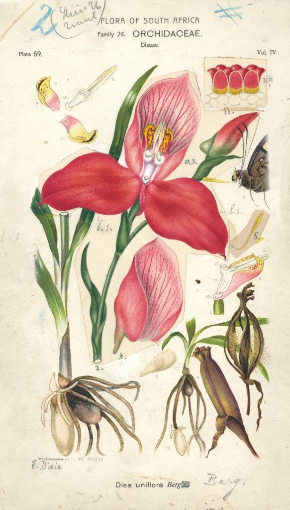 Kosbare versameling botaniese sketse