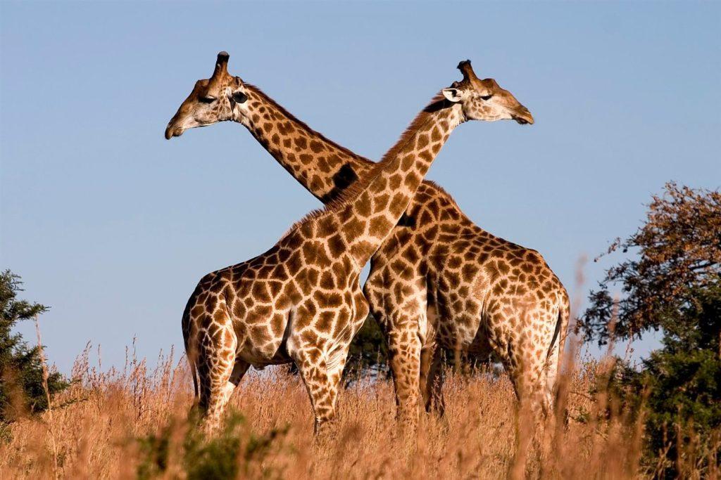 Hoekom het kameelperde lang nekke?