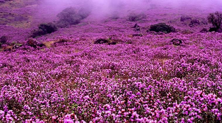 Rare Kurinje blom 15e keer ooit