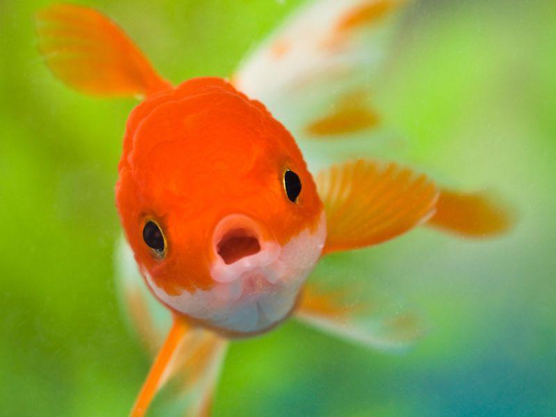 Hoekom swem goudvisse soms onderstebo?