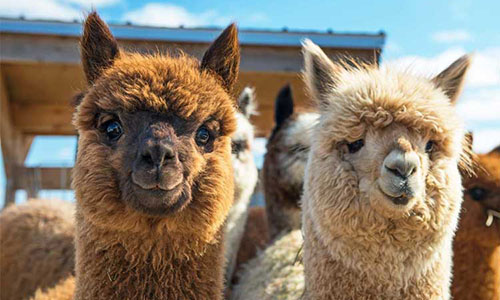 Alpacas is slim en braaf